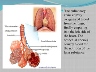 The pulmonary veins convey oxygenated blood from the lungs, finally emptying