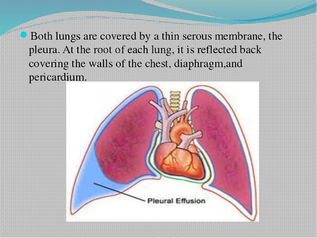 Both lungs are covered by a thin serous membrane, the pleura. At the root of...