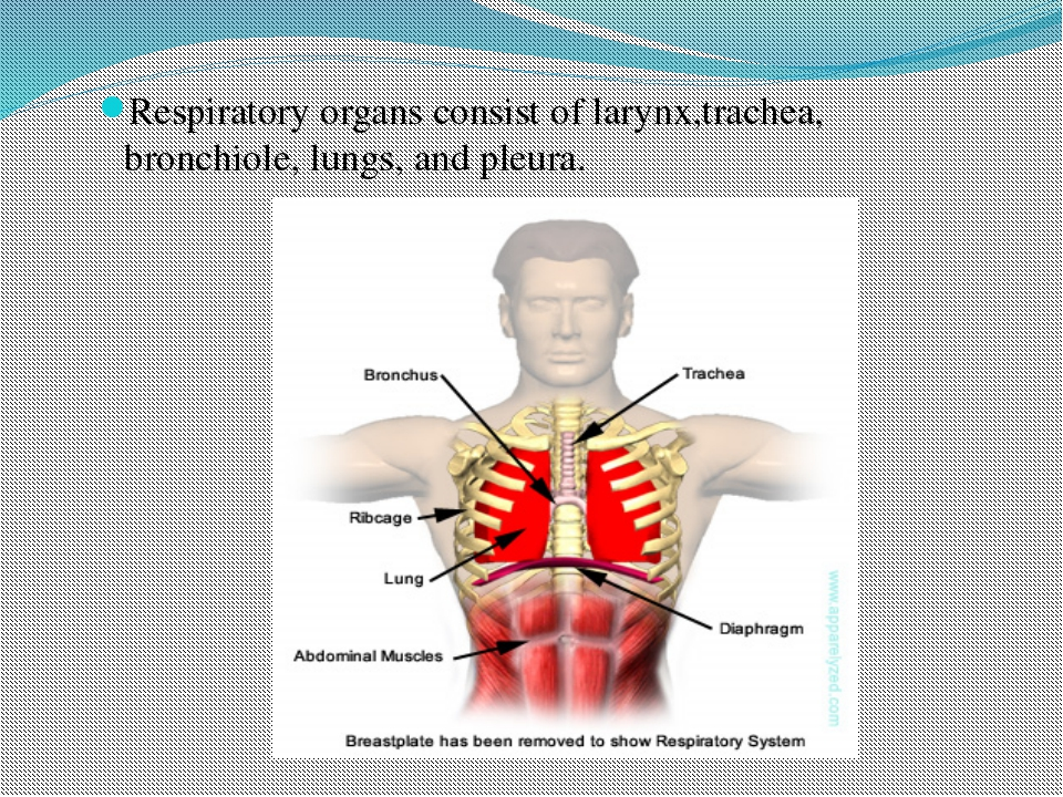 Respiratory organs consist of larynx,trachea, bronchiole, lungs, and pleura.