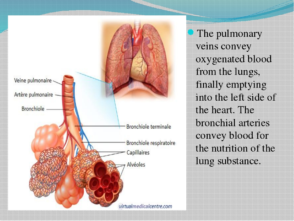 The pulmonary veins convey oxygenated blood from the lungs, finally emptying...