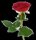 D:\ГОТОВЫЕ РАБОТЫ\презентация Англия\красная роза - символ англии.png