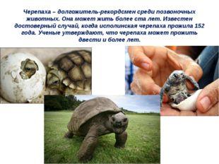 Черепаха – долгожитель-рекордсмен среди позвоночных животных. Она может жить