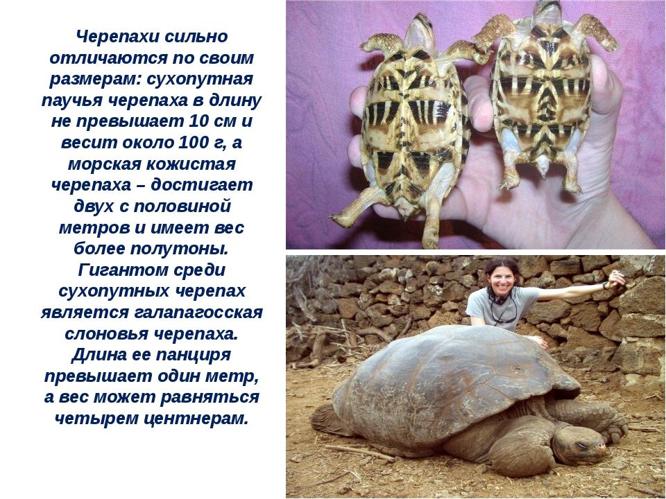 Черепахи сильно отличаются по своим размерам: сухопутная паучья черепаха в дл...