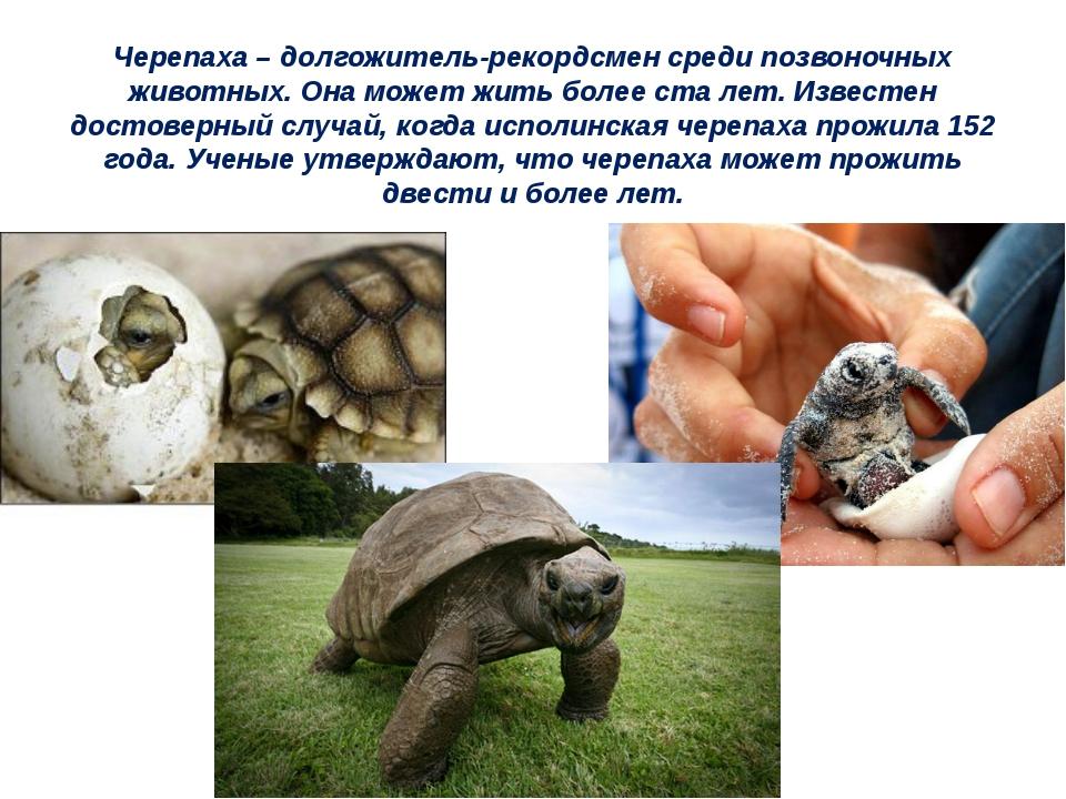 Черепаха – долгожитель-рекордсмен среди позвоночных животных. Она может жить...