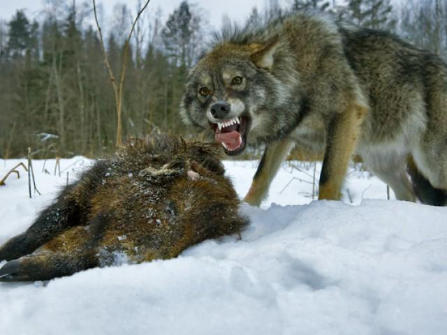 В Вологодской области волки обглодали тело пенсионерки World News FederalPress