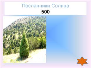 Можжевельник Посланники Солнца 500