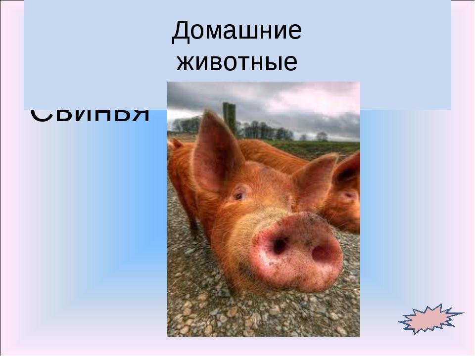 Свинья Домашние животные