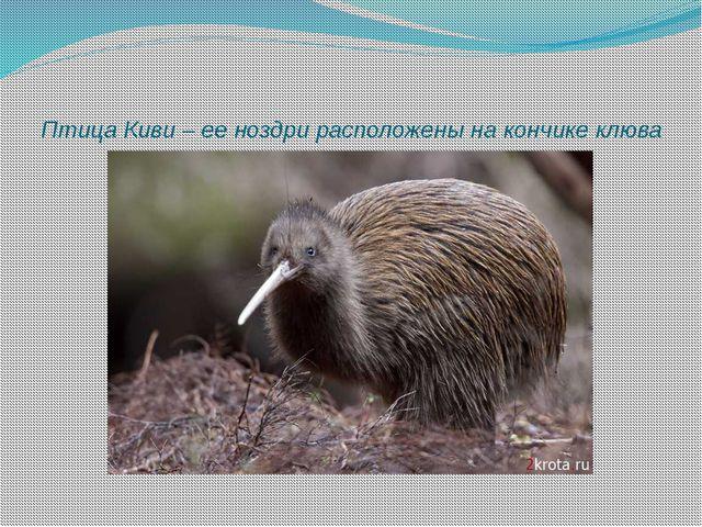 Птица Киви – ее ноздри расположены на кончике клюва