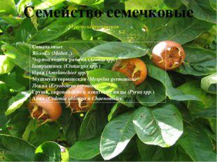 Авокадо(Аллигаторова груша) (Persea americana;Lauraceae) Азимина (Asimina tr