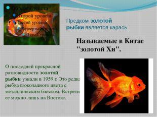 """Предкомзолотой рыбкиявляется карась Называемые в Китае """"золотой Хи"""". О посл"""