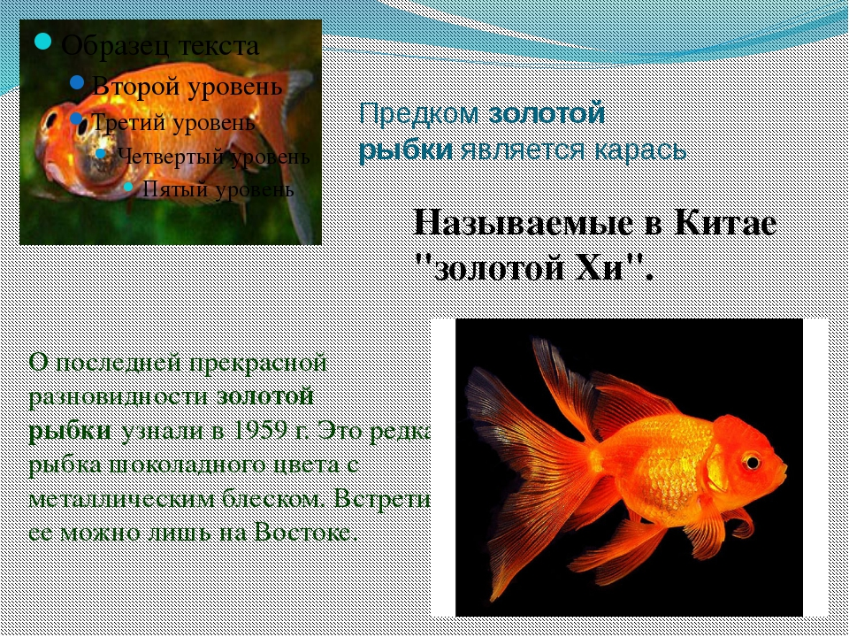 Доклад на тему золотая рыбка 9286