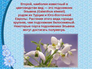 Второй, наиболее известный в цветоводстве вид — это подснежник Эльвеза (Galan