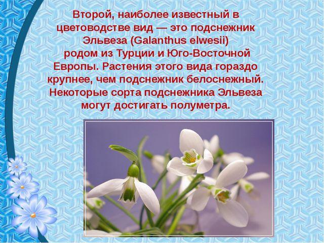 Второй, наиболее известный в цветоводстве вид — это подснежник Эльвеза (Galan...
