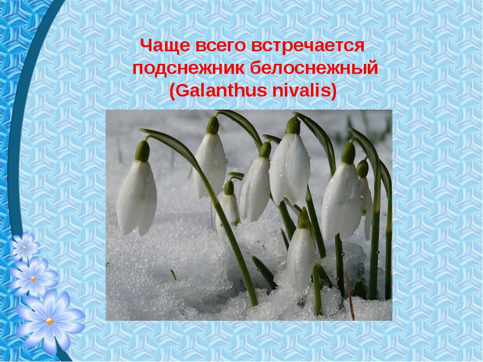Чаще всего встречается подснежник белоснежный (Galanthus nivalis)