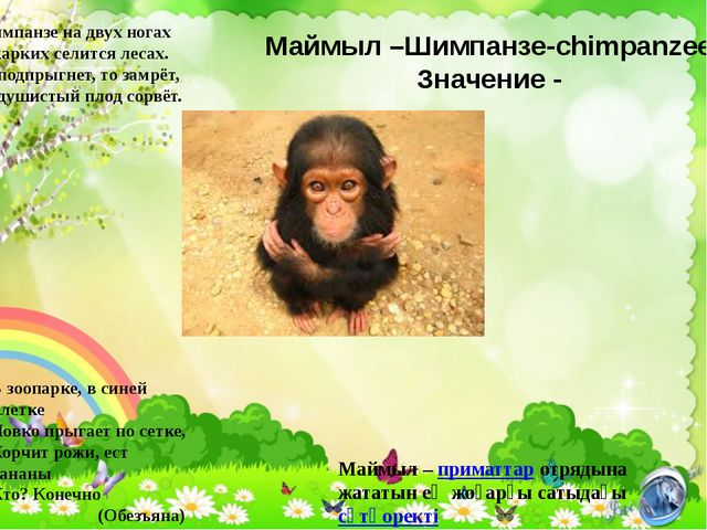 Маймыл –Шимпанзе-chimpanzee Значение - Шимпанзе на двух ногах В жарких селитс...