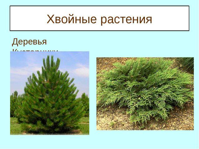 Хвойные растения Деревья Кустарники