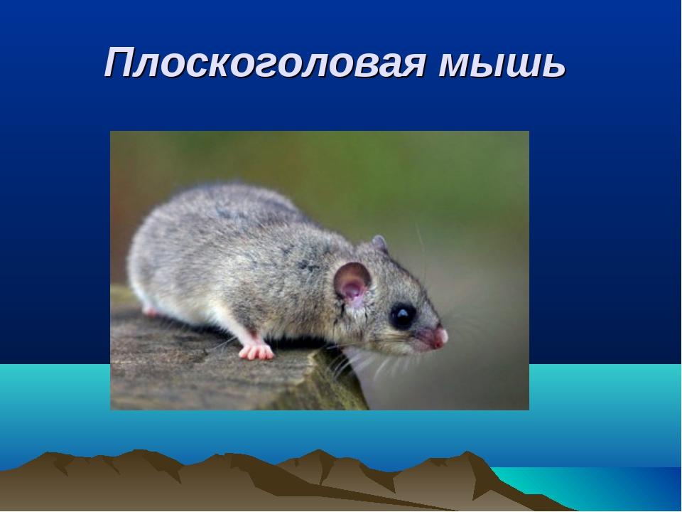 Плоскоголовая мышь