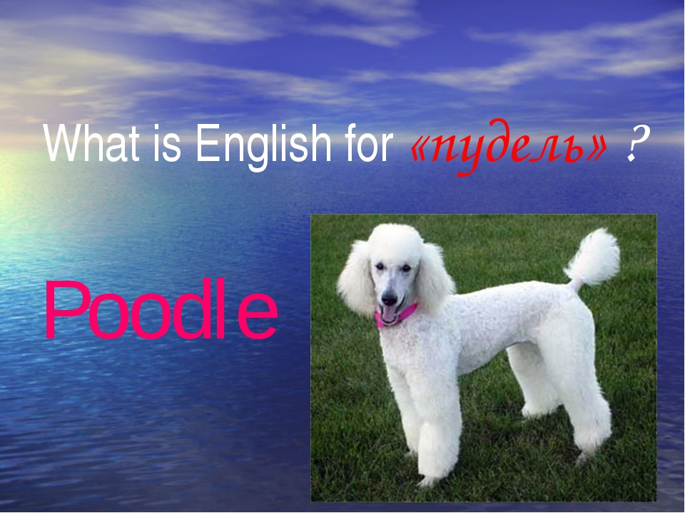 What is English for «пудель» ? Poodle My flowers are beautiful