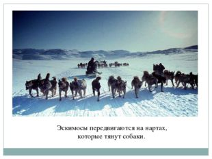 Эскимосы передвигаются на нартах, которые тянут собаки.