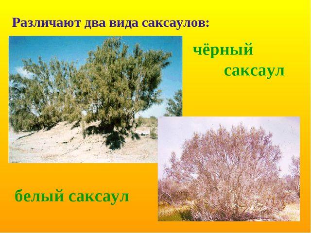 чёрный саксаул белый саксаул Различают два вида саксаулов: