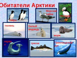Обитатели Арктики кайра Морская чайка топорик тюлень Белый медведь морж нарва