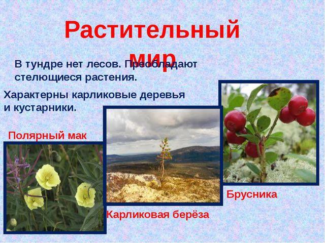 Растительный мир Характерны карликовые деревья и кустарники. В тундре нет лес...