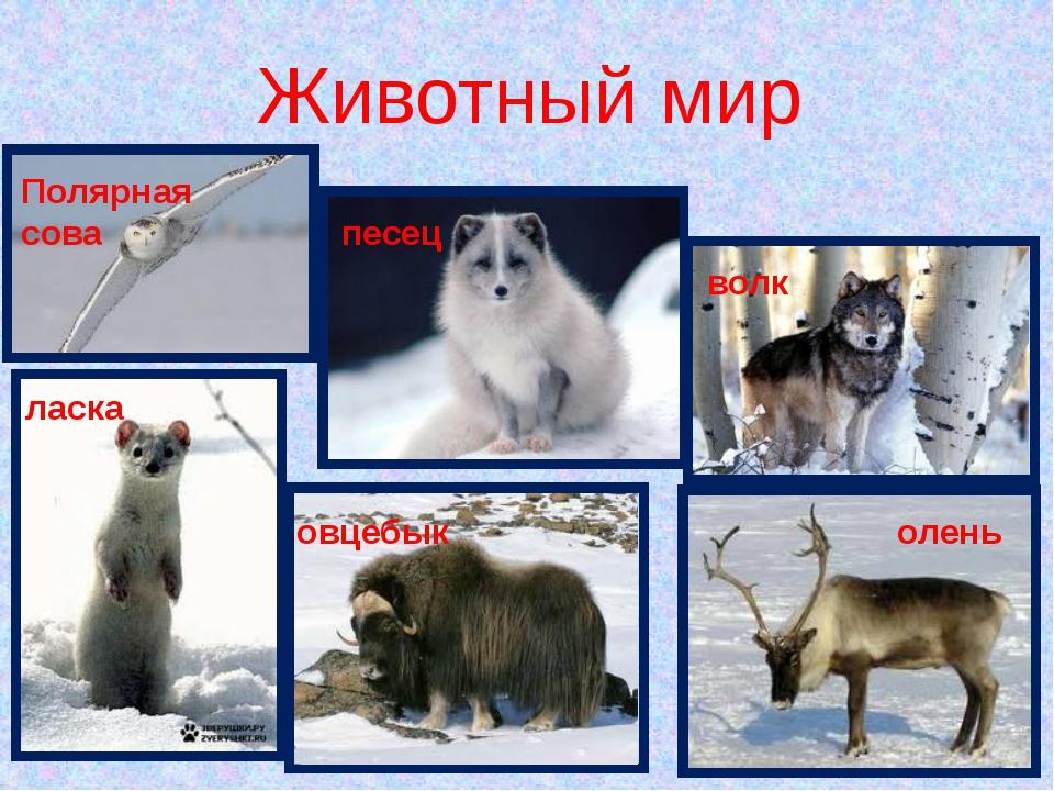 Животный мир Полярная сова песец волк ласка овцебык олень