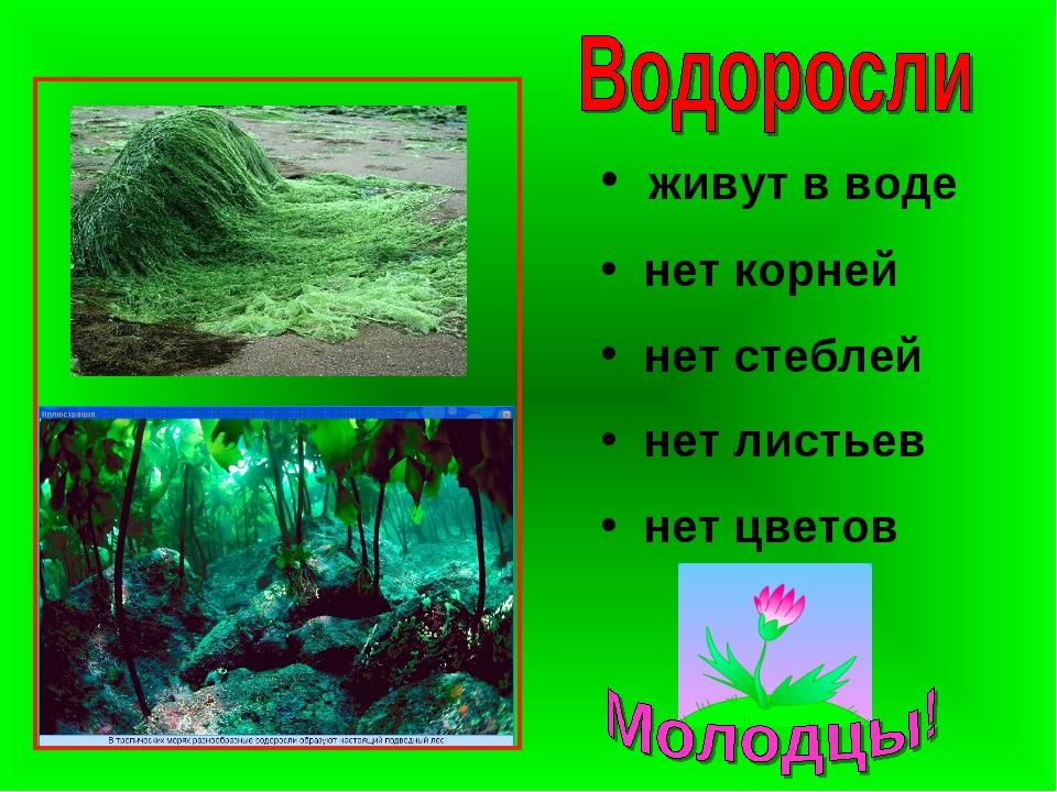 живут в воде нет корней нет стеблей нет листьев нет цветов