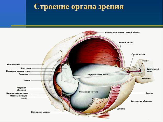 Строение органа зрения