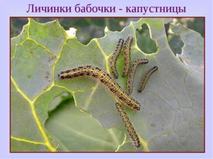 Личинки бабочки - капустницы