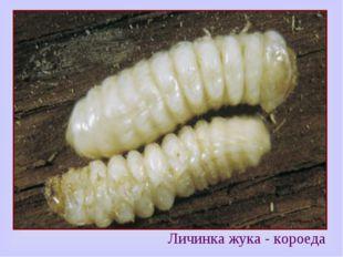 Личинка жука - короеда