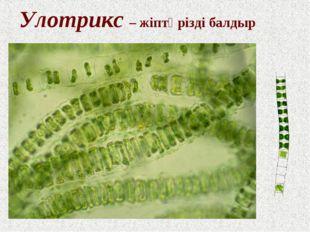 Улотрикс – жіптәрізді балдыр