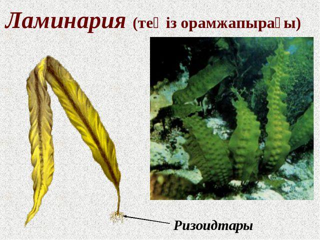 Ламинария (теңіз орамжапырағы) Ризоидтары