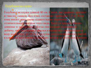 Голубоногая олуша Голубоногая олуша длиной 80 см. Самки, как правило, крупнее
