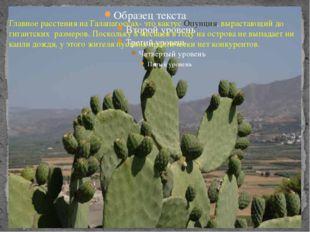 Главное расстения на Галапагоссах- это кактус Опунция, вырастающий до гигант