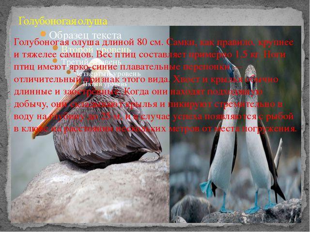 Голубоногая олуша Голубоногая олуша длиной 80 см. Самки, как правило, крупнее...