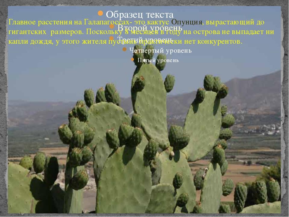 Главное расстения на Галапагоссах- это кактус Опунция, вырастающий до гигант...