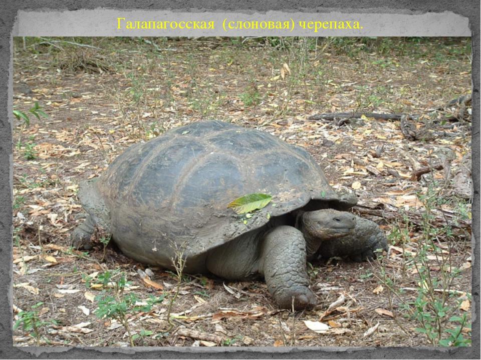 Галапагосская (слоновая) черепаха.