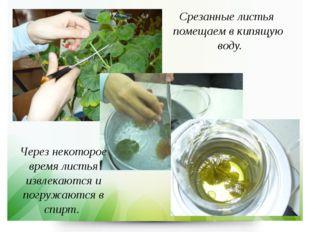 Срезанные листья помещаем в кипящую воду. Через некоторое время листья извлек