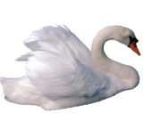 C:\Documents and Settings\user\Мои документы\ЖИВОТНЫЕ\птицы\swan2.jpg