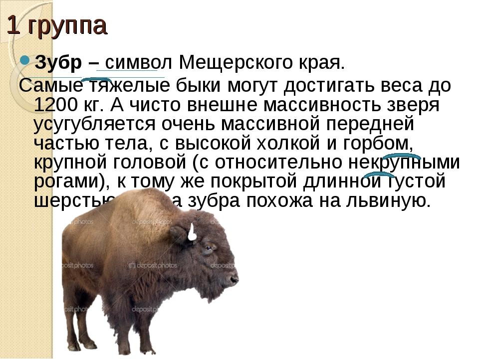 1 группа Зубр – символ Мещерского края. Самые тяжелые быки могут достигать ве...