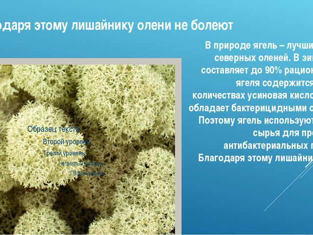 Благодаря этому лишайнику олени не болеют В природе ягель – лучший корм для с...