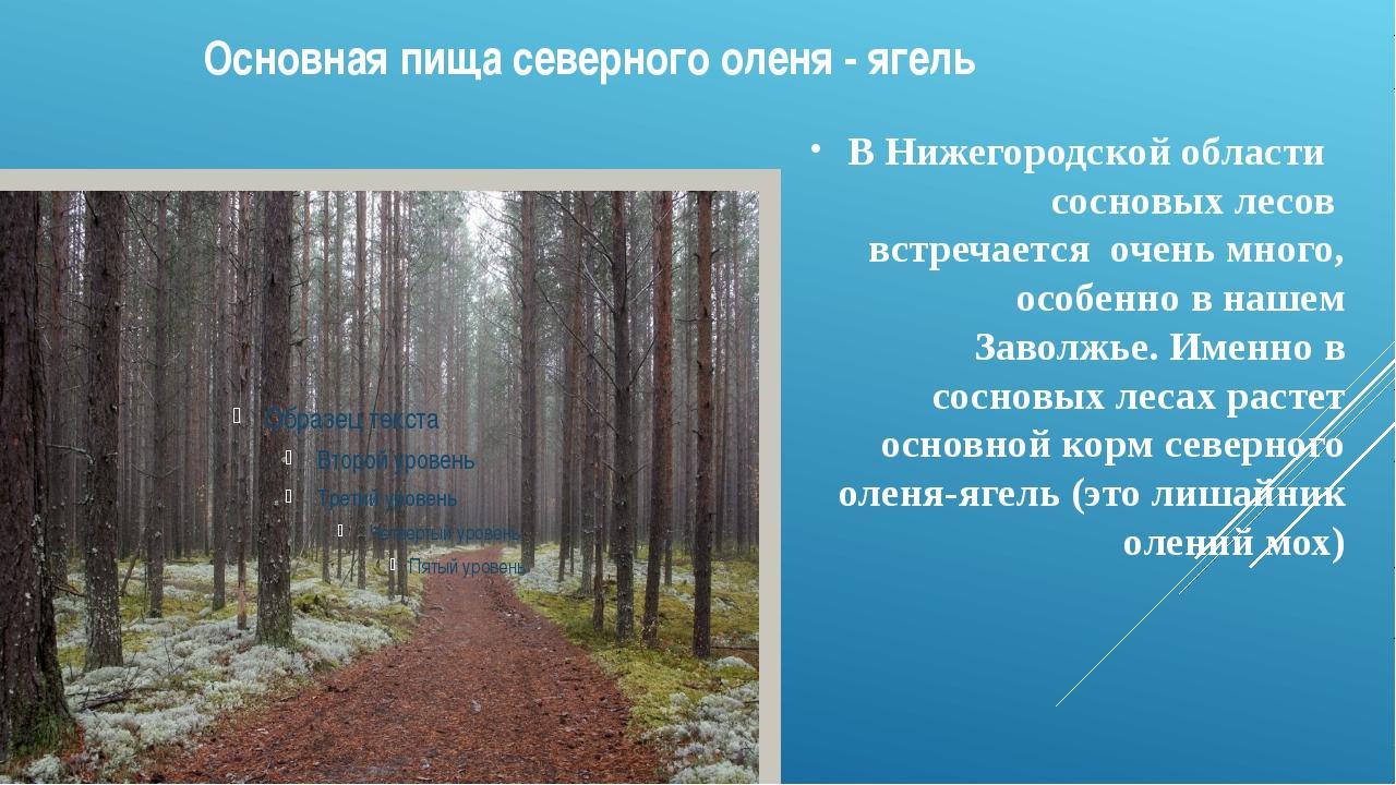 Основная пища северного оленя - ягель В Нижегородской области сосновых лесов...