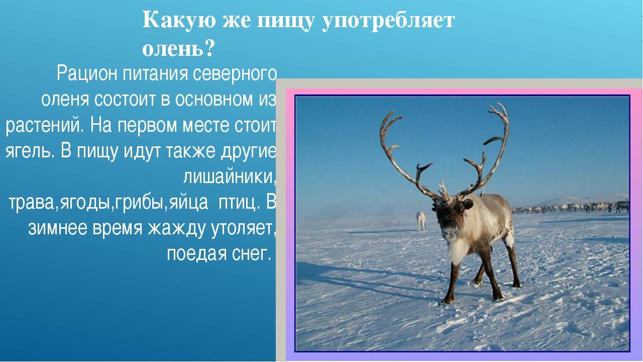 Какую же пищу употребляет олень? Рацион питания северного оленя состоит в осн...