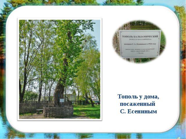 Тополь у дома, посаженный С. Есениным