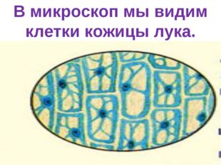 В микроскоп мы видим клетки кожицы лука.