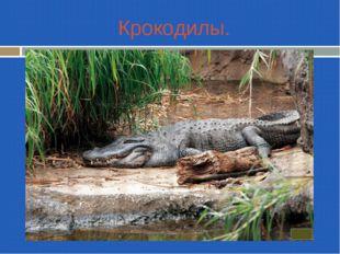 Крокодилы.