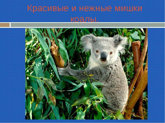 Красивые и нежные мишки коалы.