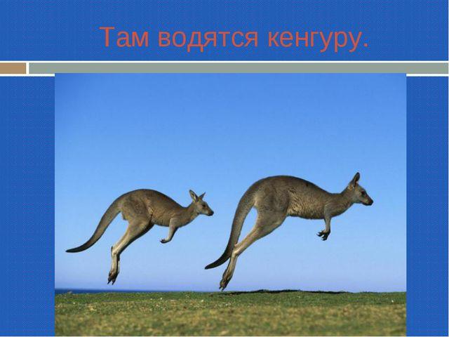 Там водятся кенгуру.