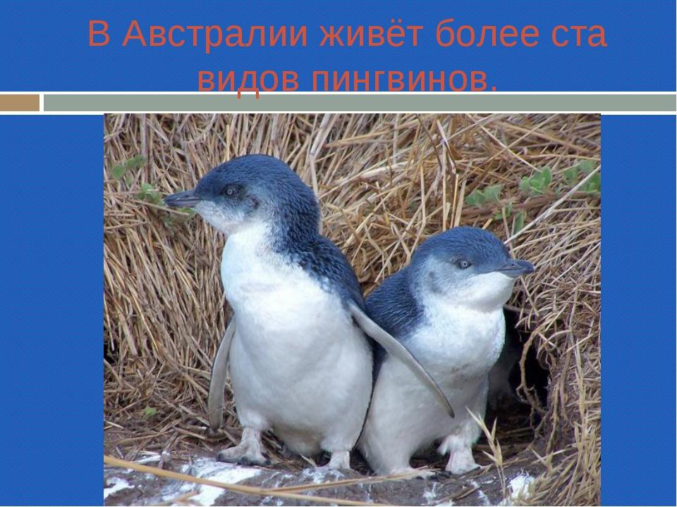 В Австралии живёт более ста видов пингвинов.